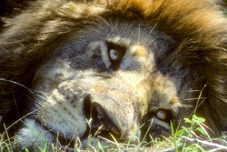 Lion portrait by Dave Currey