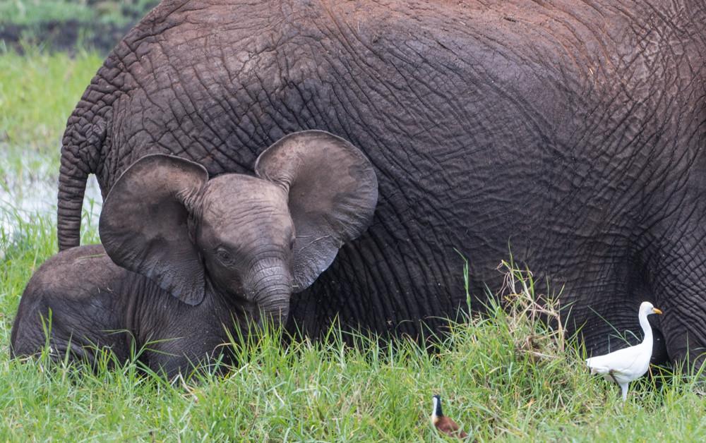 Baby elephant ears