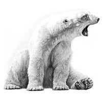 Polar bear drawing by Gary Hodges
