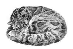 Serenity 2001 (clouded leopard)
