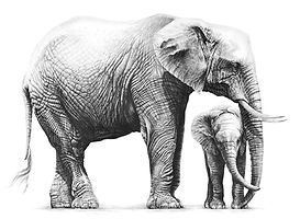 African elephants drawing by Gary Hodges