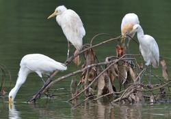 Eastern Cattle Egrets