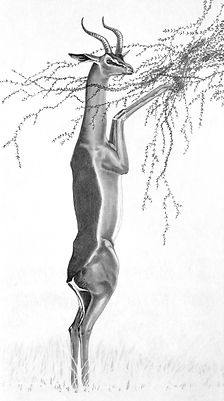 gerenuk early drawing by Gary Hodges