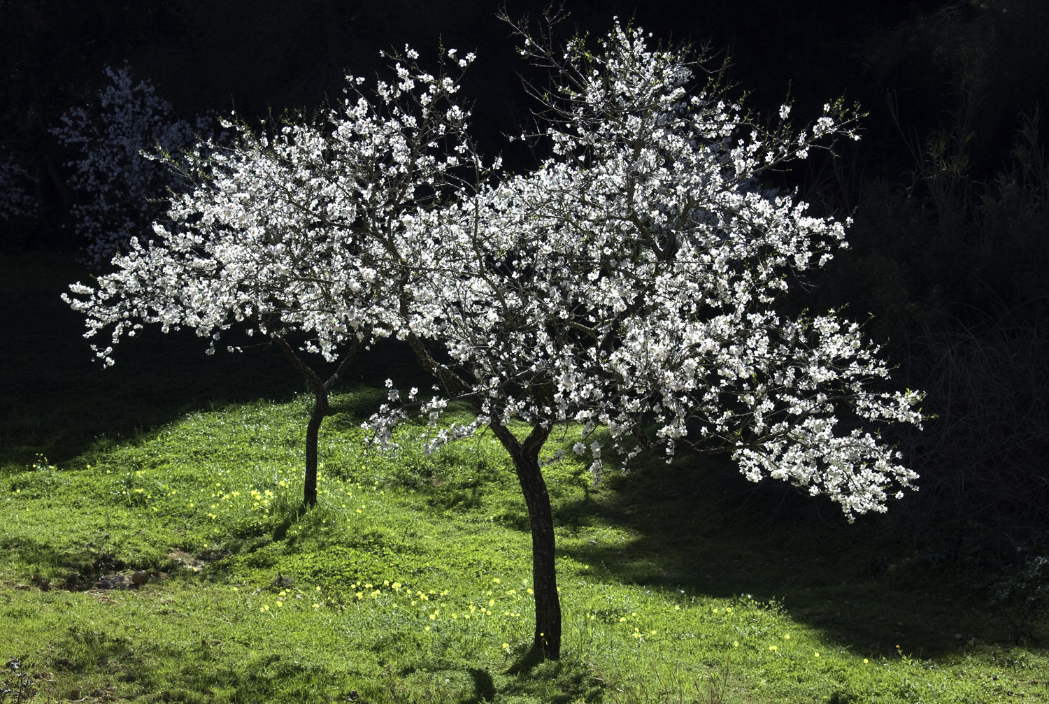 Almond blossom Ibiza by Dave Currey