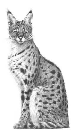 Elegance 1996 (serval)