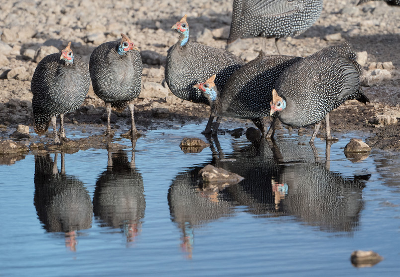 Guineafowl reflection