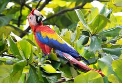 Wild Scarlet Macaw by Dave Currey