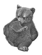 bear cub drawing by Gary Hodges