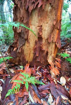 Eucalyptus Bark by Dave Currey