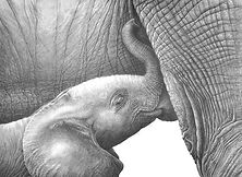 Baby elephant suckling drawing by Gary Hodges