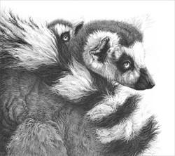 Ring tailed lemurs 1994