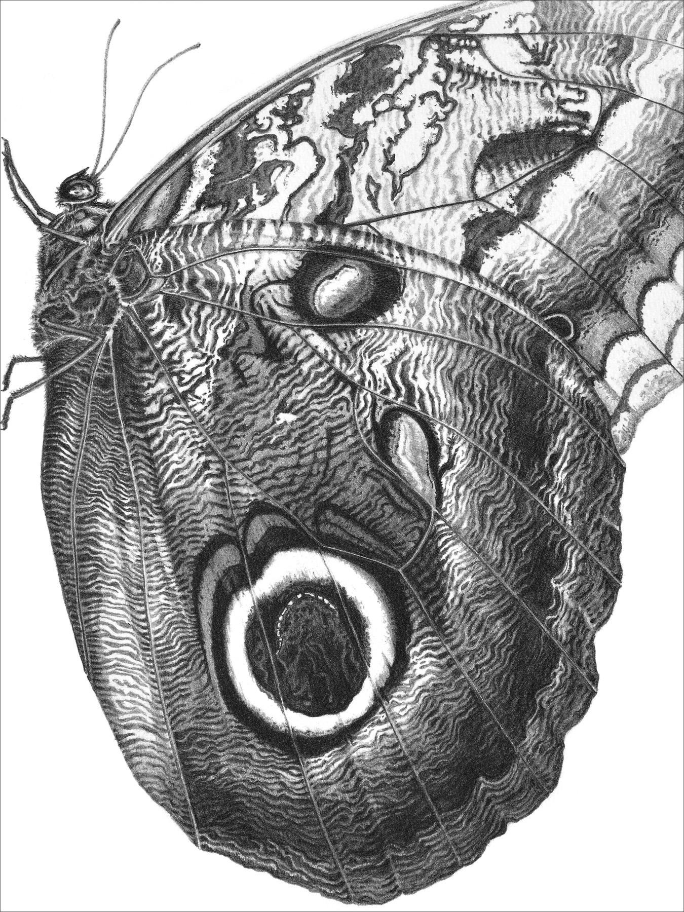 Owl butterfly 1994