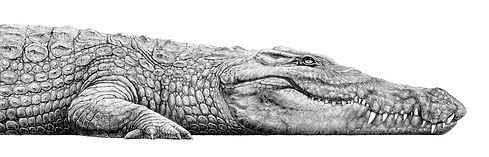 Nile crocodile drawing by Gary Hodges