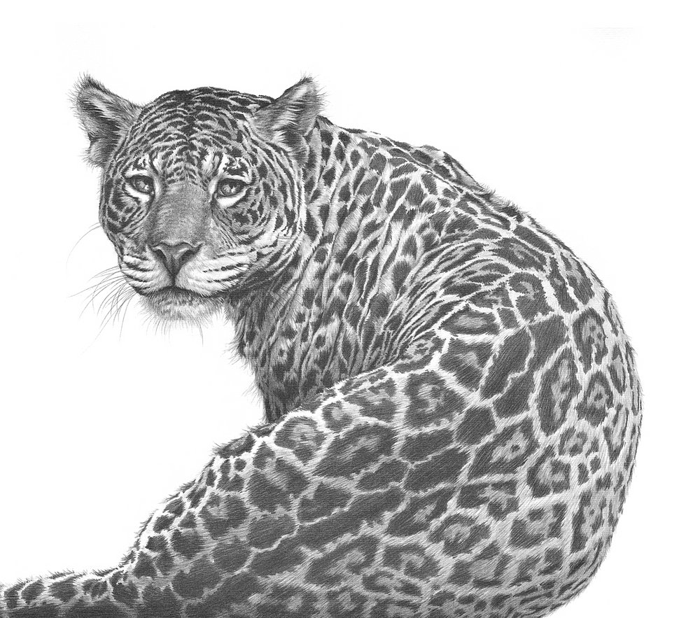 Wild Cat Drawings By Gary Hodges