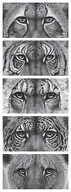 Drawing of wild cat eyes by Gary Hodges