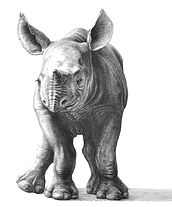 Young rhino drawing by Gary Hodges