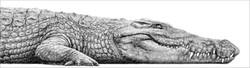 Nile crocodile 2000