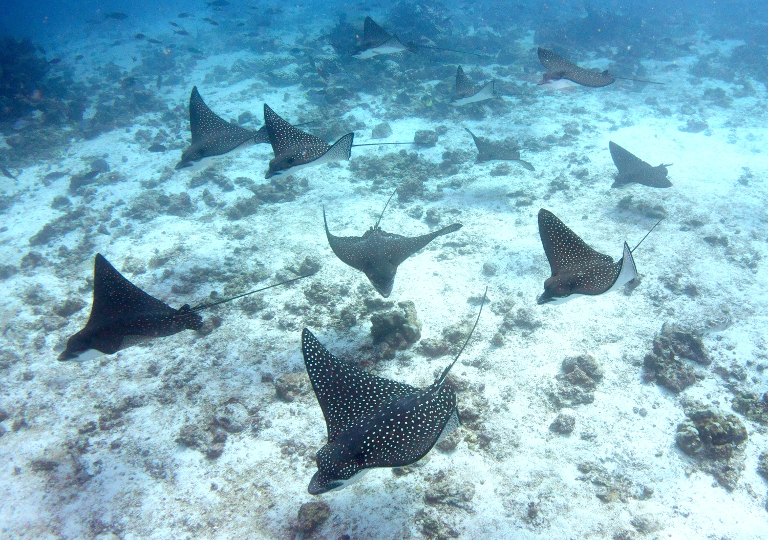 Spotted eagle rays by Dave Currey