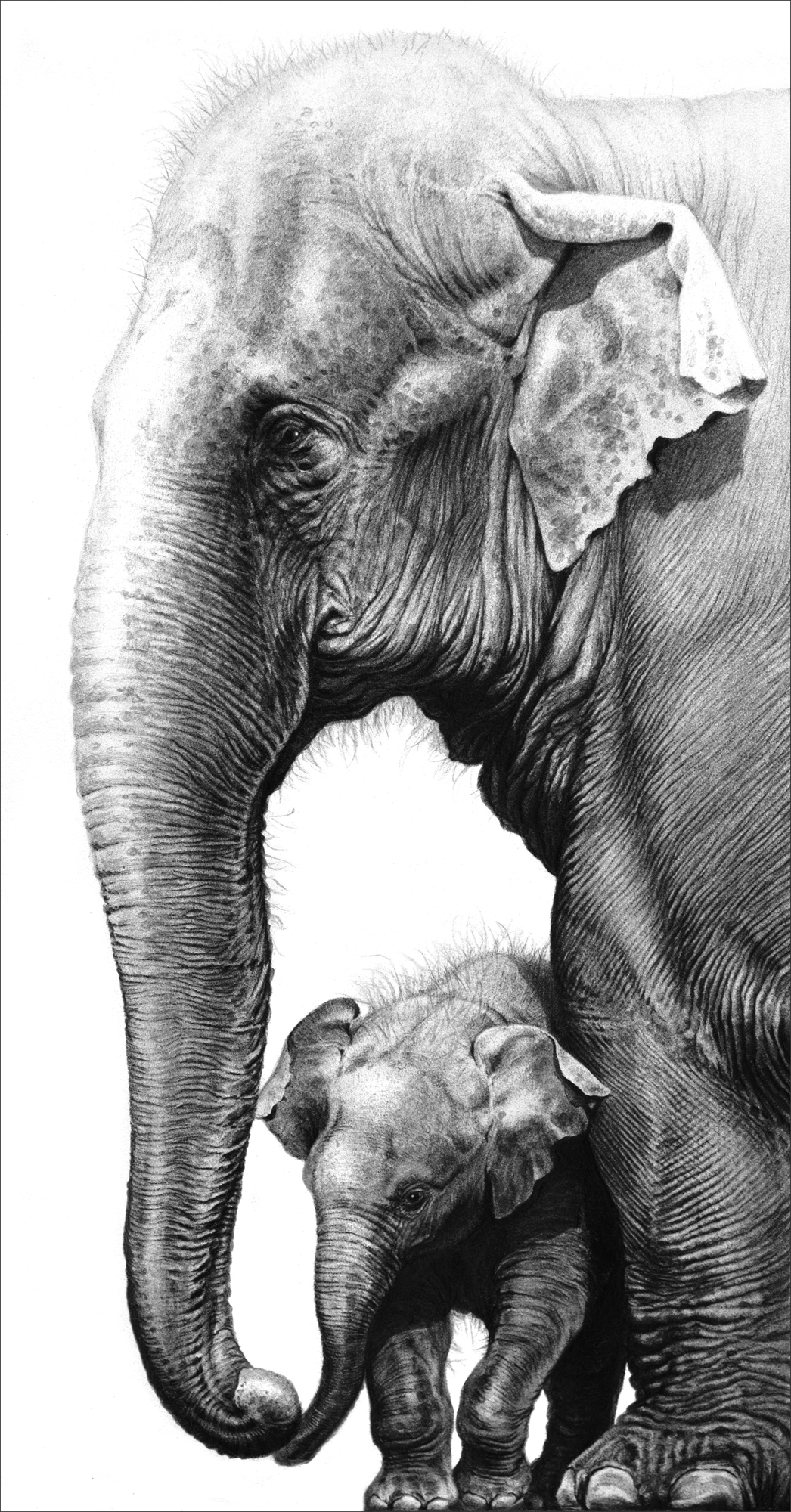 Elephant drawings by gary hodges