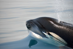 Orca blowing by Dave Currey