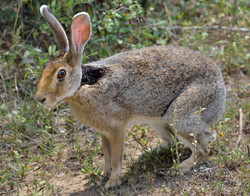 Black-necked hare