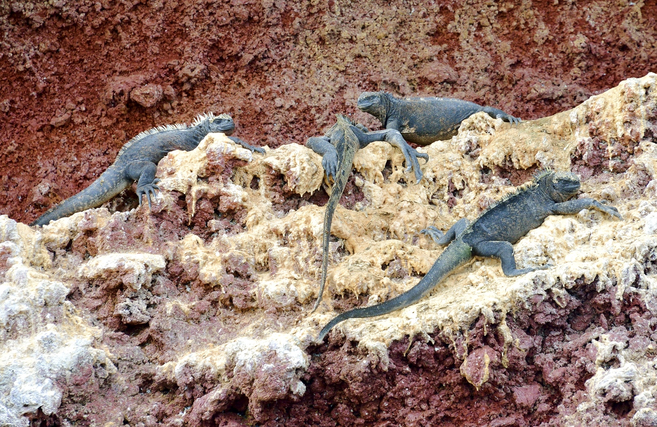 arine iguanas on coloured rock and guano by Dave Currey