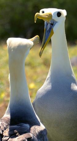 Waved albatross dancing by Dave Currey