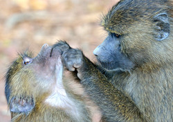 Baboons by Dave Currey