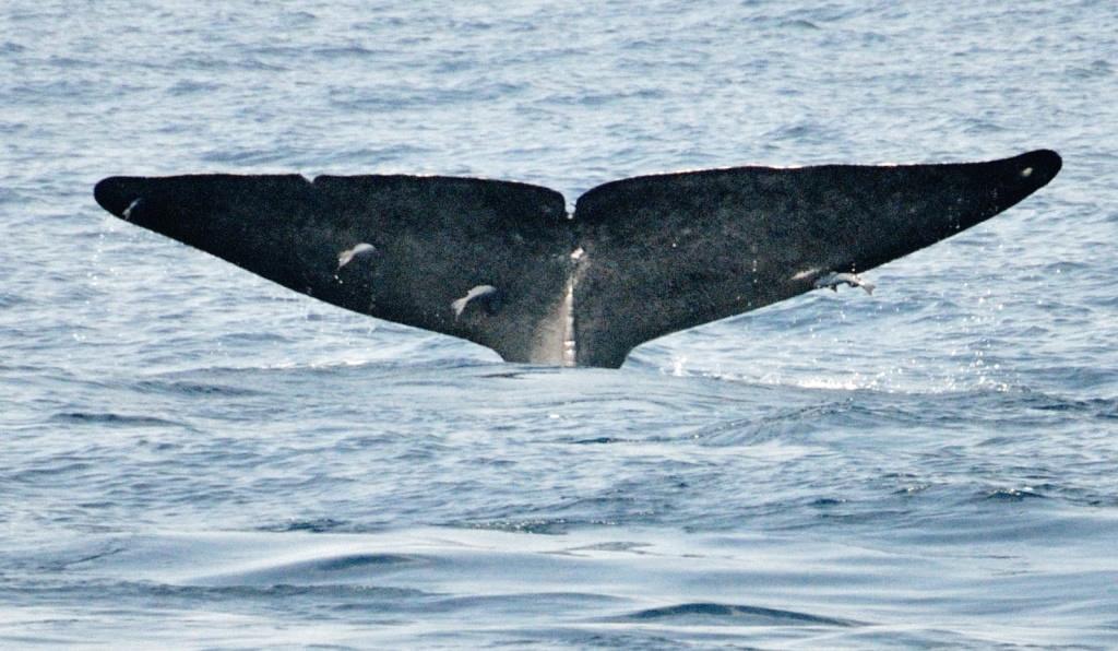Blue whale tail fluke