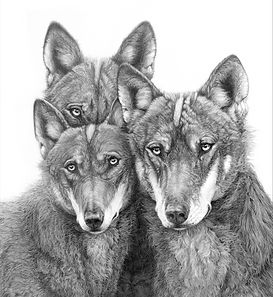Iberian Wolves link to dogs gallery