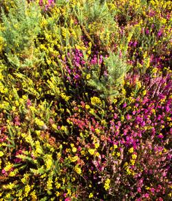 Heath colour by Dave Currey