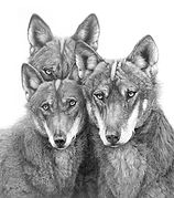 Iberian wolves drawing by Gary Hodges