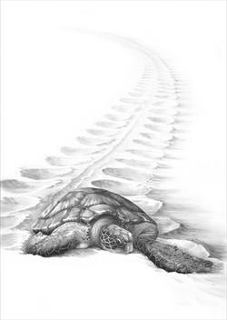 Green turtle 1987