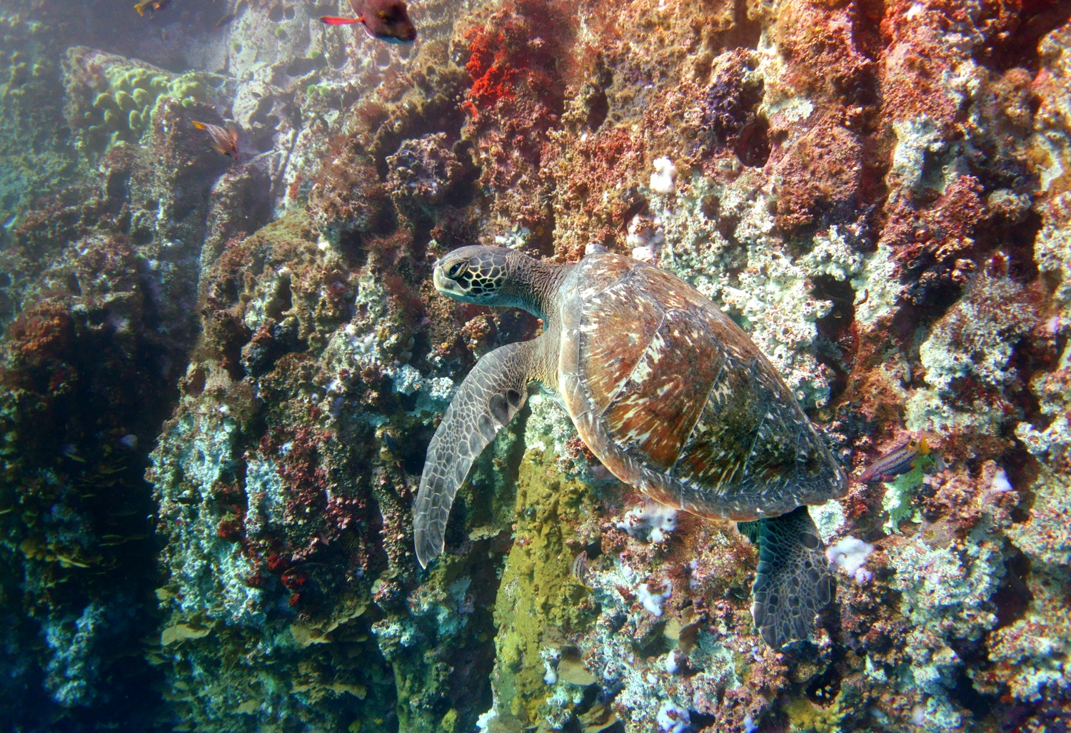 Green turtle with colourful rocks by Dave Currey