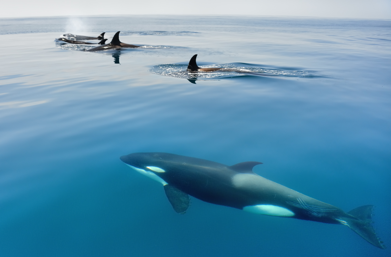 Orcas by Dave Currey