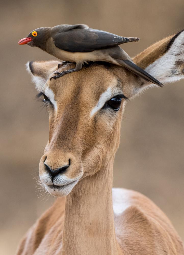 Oxpecker on impala