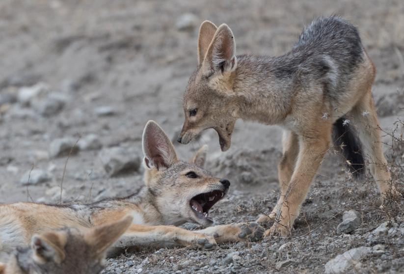 Jackal cubs playing