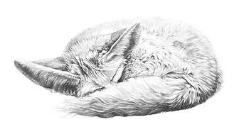 Fennec fox drawing by Gary Hodges