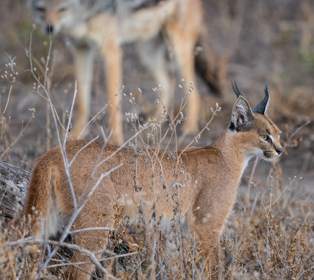Caracal watched by jackal