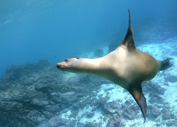 Galapagos sealion by Dave Currey