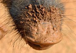 Wild boar snout