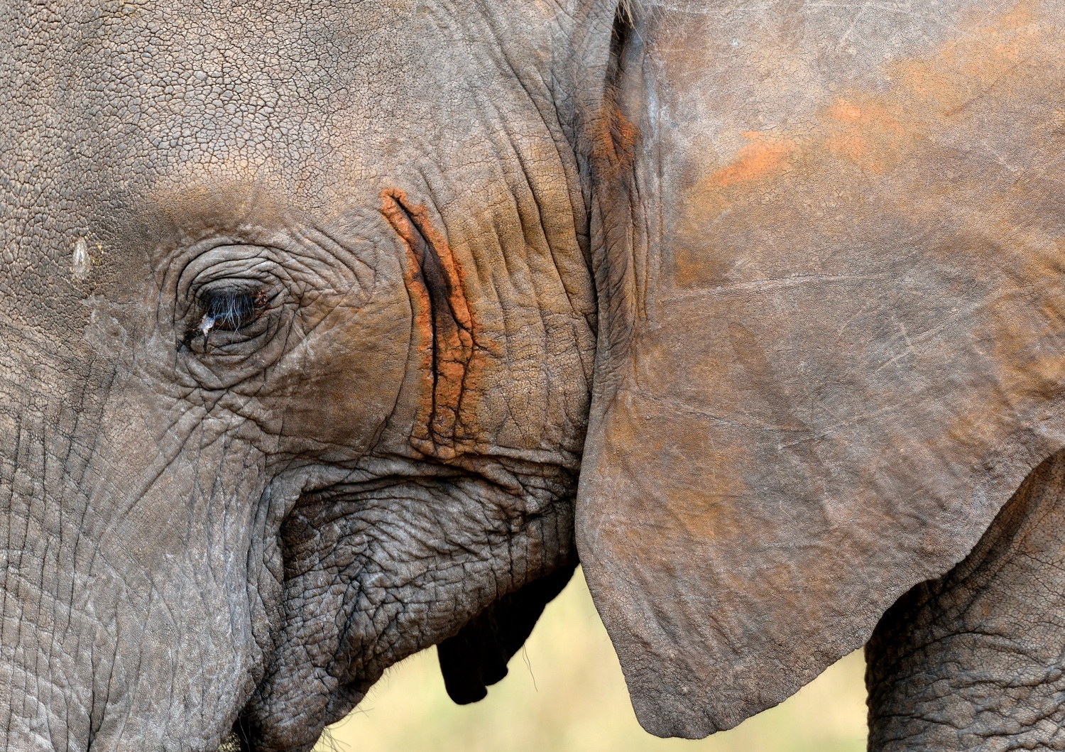 African elephant in musth by Dave Currey