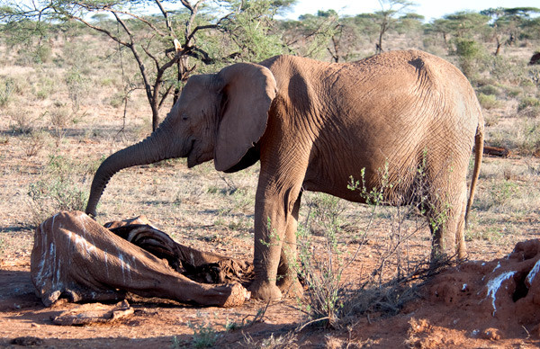"CECIL ""USE IT OR LOSE IT"" POLICY DRIVES ELEPHANT SLAUGHTER"