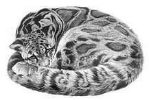 Clouded leopard drawing by Gary Hodges