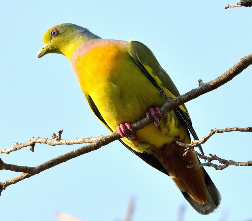 Orange breasted green pigeon