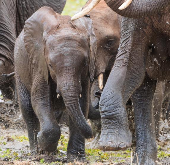 Elephants leaving a swamp