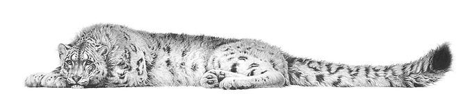 Snow leopard by Gary Hodges
