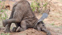 ELEPHANTS: CAN THEY SURVIVE?