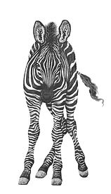 Zebra drawing Gary Hodges