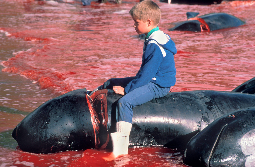 Faroe Islands whale kill 1985